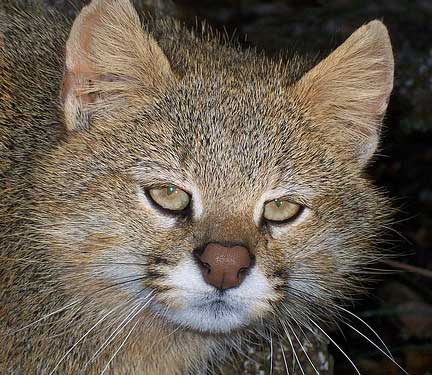 Pampas cat. Tired of your questions. RTFM.