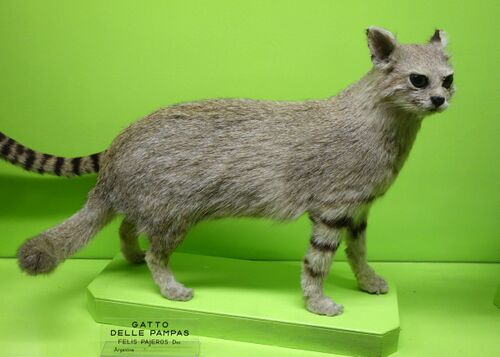 Pampas cat. Dislikes being stuffed and placed in a museum.